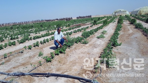 Tomato irrigated with saline groundwater supplied by drip irrigation in the desert areas north of Karbala, Iraq. (Photo: I. Abdulrazzaq, Ministry of Science and Technology, Iraq) ⓒ사진출처=국제원자력기구(IAEA)